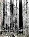 1938. Fire-killed Douglas-fir. Meehan operation. Tillamook Burn, Oregon. (34020818995).jpg