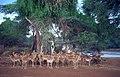 1993 149-2A Samburu impala.jpg