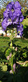 2006-10-18Aconitum02.jpg
