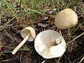 2012-09-04 Limacella illinita (Fr. - Fr.) Murrill 258648.jpg