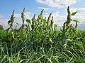 20120903Amaranthus retroflexus3.jpg