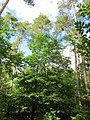 20130731Speyrer Wald23.jpg