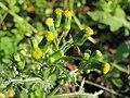 20141011Senecio vulgaris.jpg
