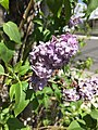 2015-05-01 14 31 41 Lilac blossoms along South 9th Street in Elko, Nevada.jpg