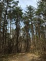 2016-03-10 13 21 54 View north along the Walney Road Trail as it passes through a grove of Virginia Pines within Ellanor C. Lawrence Park in Fairfax County, Virginia.jpg