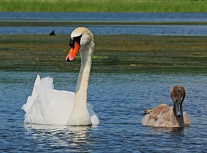 Mute swan - Cygnus olor, with young bird