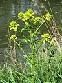 20170418Barbarea vulgaris3.jpg