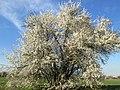 20190320 Prunus cerasifera 11.jpg