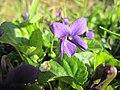 20190320 Viola odorata 3.jpg