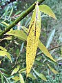 2020-10-12 15 33 35 Weeping Willow leaf turning yellow in autumn along Tranquility Court in the Franklin Farm section of Oak Hill, Fairfax County, Virginia.jpg