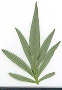 2020 year. Herbarium. Artemisia vulgaris. img-012.jpg