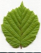 2020 year. Herbarium. Corylus avellana. img-001.jpg