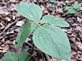 20210627Paris quadrifolia1.jpg