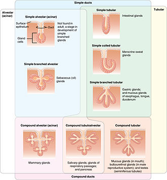 Epithelium - Different characteristics of glands of the body