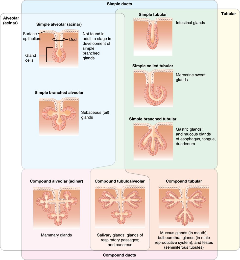 406 Types of Glands