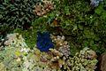 44-EastTimor-Dive Atauro-Outer Reef 19 (Clam)-APiazza.JPG