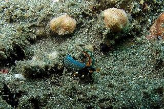 <i>Thuridilla gracilis</i> species of mollusc