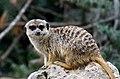 50 Jahre Knie's Kinderzoo - Suricata suricatta (Erdmännchen) 2012-10-03 16-29-25.JPG