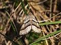 70.039 BF1718 Oblique Striped, Phibalapteryx virgata (7307079926).jpg