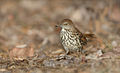 8G7D9830-BrownThrasher.jpg