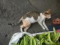 9935Black tortoiseshell and white cat portraits in the Philippines 03.jpg