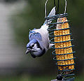 A Blue Jay Doing a Nuthatch Imitation (4257851677).jpg