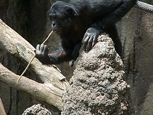 Animal culture - A bonobo fishing for termites using a sharpened stick. Tool usage in acquiring food is believed to be a cultural behavior.