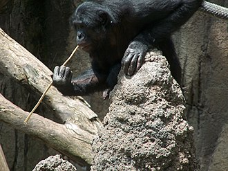 Mammal - A bonobo fishing for termites with a stick