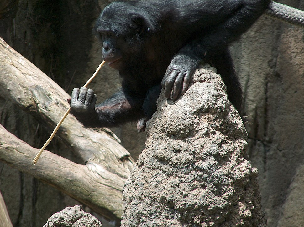 "A Bonobo at the San Diego Zoo ""fishing"" for termites"