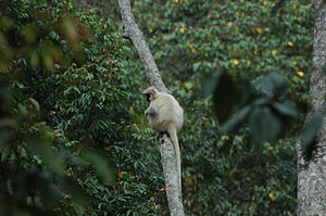 Jigme Singye Wangchuck National Park - A golden langur climbing a tree at Nabji