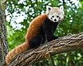 A Kis Panda.jpg