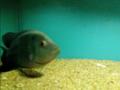 A black fish bangalore aquarium india.png