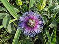 A flor do Maracuja do Cerrado (Passiflora cincinnata) se destaca na vegetacao.JPG
