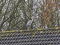 A heron on a roof, Swindon - geograph.org.uk - 343039.jpg