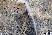 Cheetah Reproduction And Social Life | RM.