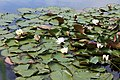 A pond with water lilies westwards outside the Woodland Trust wood Theydon Bois Essex England.JPG