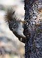 A red squirrel (d1efe642-3958-40f6-bd10-4b754f8ba337).jpg