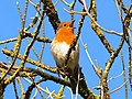 A robin in a tree, Swindon - geograph.org.uk - 333092.jpg