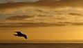 A seagull (3364293349).jpg