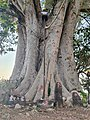 A temple under sacred fig tree in rural coimbatore.jpg