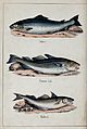 Above, a salmon; middle, a common cod; below, a haddock. Col Wellcome V0020752.jpg