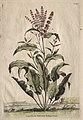 Abraham Munting - Phytographia Curiosa- Lapathum Sativum Antiquorum - 1994.147 - Cleveland Museum of Art.jpg