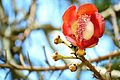 Abricó-de-macaco flor.jpg