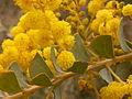 Acacia pravissima (5055339551).jpg
