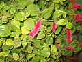 Acalypha pendula-yercaud-salem-India.JPG