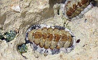 Acanthopleura granulata - Image: Acanthopleura granulata (West Indian fuzzy chitons) (San Salvador Island, Bahamas) 1 (16131898481)