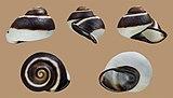 Acavus haemastoma melanotragus 01.jpg