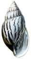 Achatina craveni shell.png