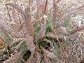 Achillea millefolium (3287027575).jpg
