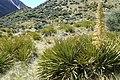 Aciphylla aurea kz10.jpg